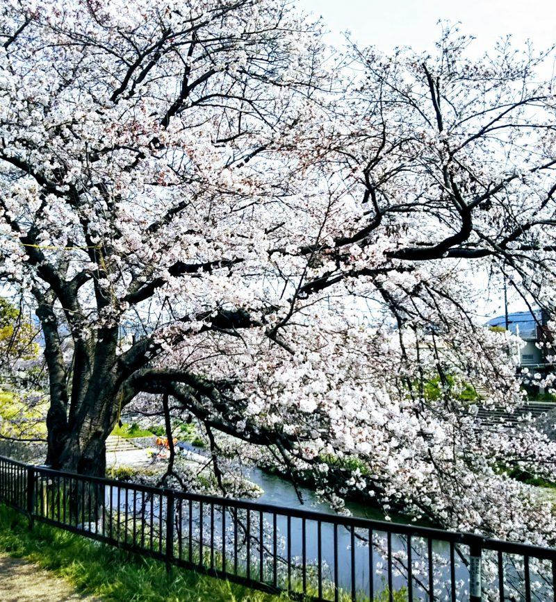 桜満開の#山科川