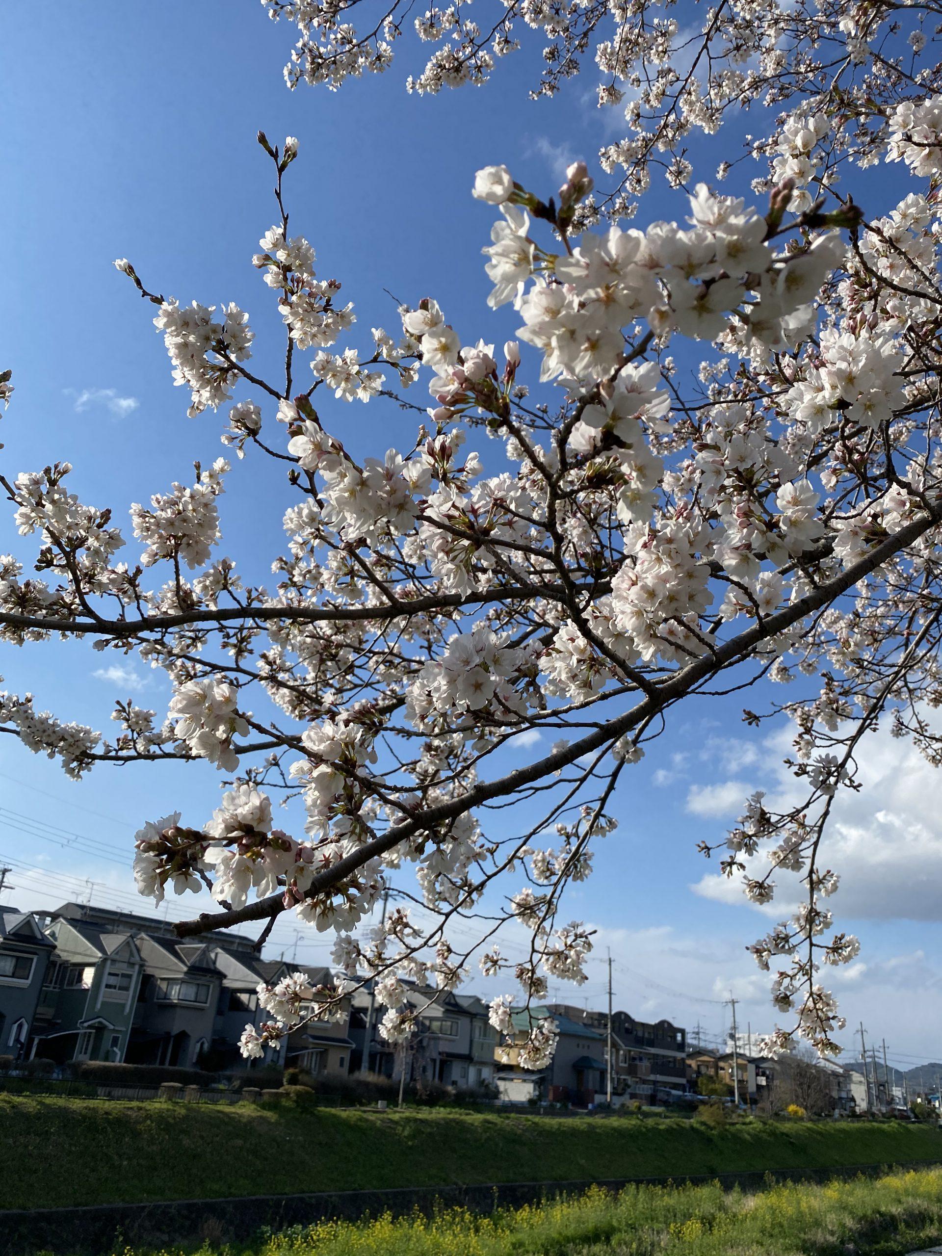 桜が見頃になってきました♪